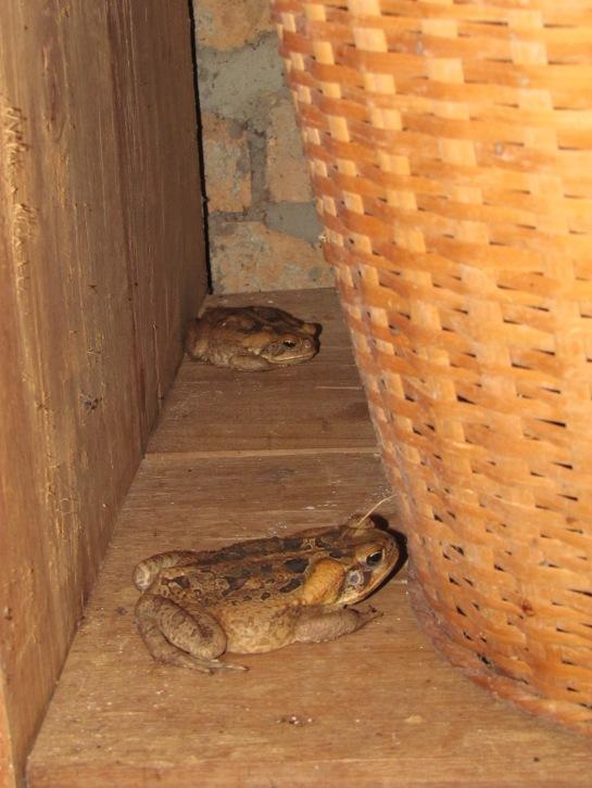 cane toads karanambu